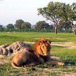 Whange Lion